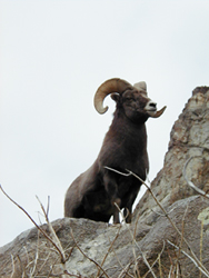 Gray Jay Press- Ruby Mountains Bighorn Ram
