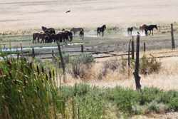Gray Jay Press- Sagebrush Heart- Wild Horses at Dolly Varden Spring