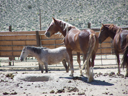 Gray Jay Press- Sagebrush Heart- Captive Wild Horses at Palomino Valley